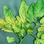Συμπτώματα Έλλειψης Θρεπτικών Συστατικών σε Ντομάτες. Τροφοπενίες