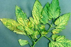 Συμπτώματα Έλλειψης Θρεπτικών Συστατικών σε Ντομάτες