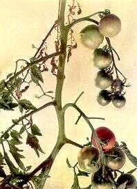 Ντομάτα - Τοξικότητα Μαγγανίου