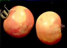 Ντομάτα - Ασθένεια Μωσαϊκό Τομάτας