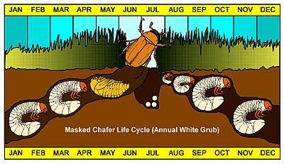 Κύκλος ζωής. Μετατροπής των άσπρων σκουληκιών σε σκαθάρια