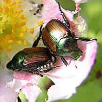 Σκαθάρια - Japanese Beetles