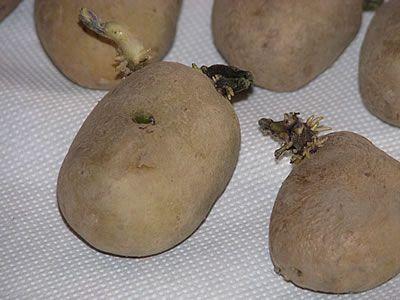 κόνδυλοι πατάτας από Ολλανδία - μάτια πατάτας