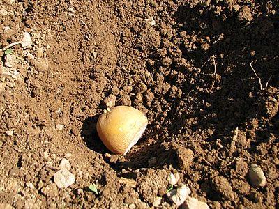 βάζω τον κόνδυλο της πατάτας στην τρύπα