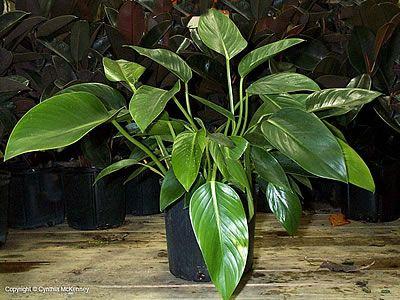Φιλόδεντρο Βουργουνδίας philodendron domesticum