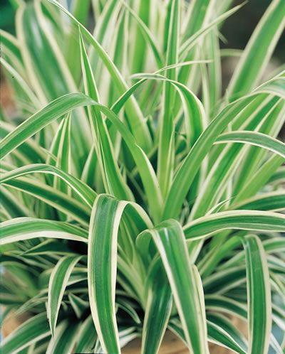 Χλωρόφυτο το εύκομον - Ιπτάμενος Ολλανδός chlorophytum comosum