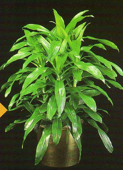 Δράκαινα dracaena deremensis janet craig