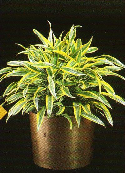 Δράκαινα dracaena deremensis warneckii