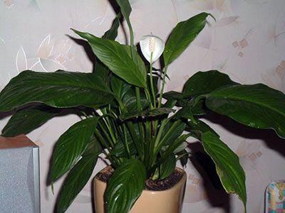 Σπαθίφυλλο spathiphyllum mauna loa