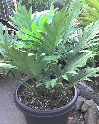 Φιλόδεντρο philodendron bipinnatifidum