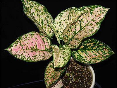 Αγλαόνημα aglaonema modestum.jpg