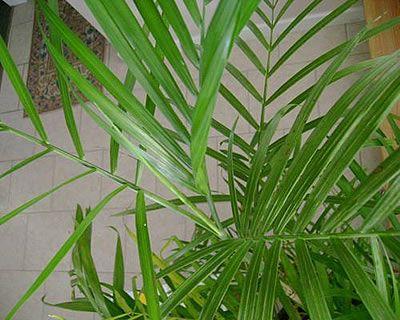 Χαμαιδώρεα - Μπαμπού chamaedorea sefritzii