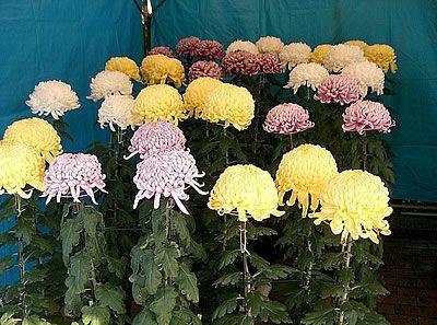 Χρυσάνθεμο chrysantheium morifolium