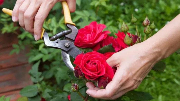 Κλάδεμα Καλλωπιστικών Λουλουδιών