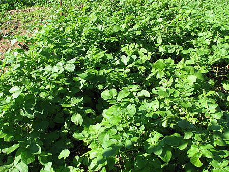 Φυτά πατάτας σε πλήρη ανάπτυξη