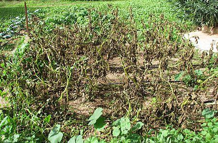 Τα φυτά της πατάτας έχουν ξεραθεί