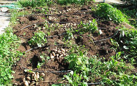 Η παραγωγή πατάτας