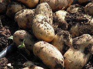 Έτοιμες οι Χειμερινές Πατάτες