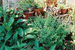 Αρωματικά Φυτά σε Γλάστρες
