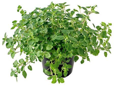 ΡΙΓΑΝΗ-OREGANO Αρωματικά Φυτά σε Γλάστρες