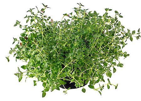 ΘΥΜΑΡΙ-THYME Αρωματικά Φυτά σε Γλάστρες