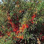 Πληροφορίες για την Καλλιέργεια του Ιπποφαές