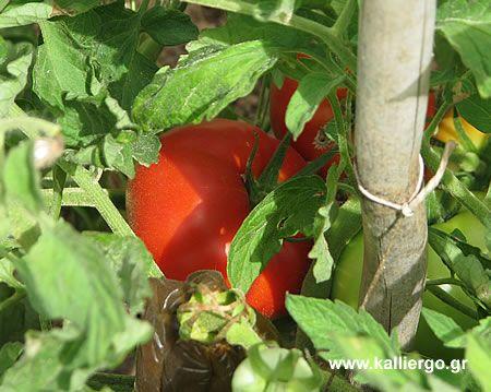 φρέσκια ντομάτα από τον κήπο
