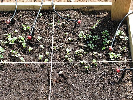 Ραπανάκια στον 1 τμ κήπο