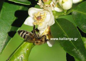 Μέλισσα σε άνθος λεμονιάς