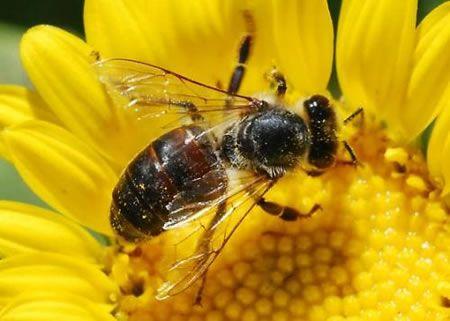 Μέλισσα γονιμοποίηση