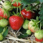 Πως Καλλιεργώ Φράουλες - Οδηγίες & Συμβουλές