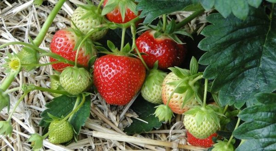 Πως Καλλιεργώ Φράουλες
