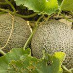 Πως Καλλιεργώ Πεπόνι - Οδηγίες & Συμβουλές