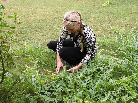γυναίκα κόβει καρπούζι από τον κήπο