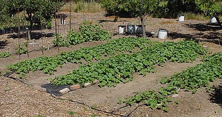 καλλιέργεια πεπονιών στον κήπο