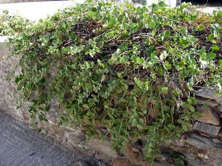Φυτό κάπαρης σε τοίχο στην Κύθνο