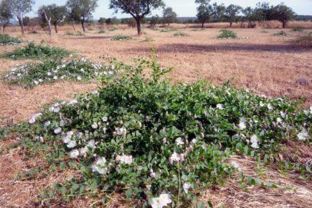 Φυτό κάπαρης στη Mallorca