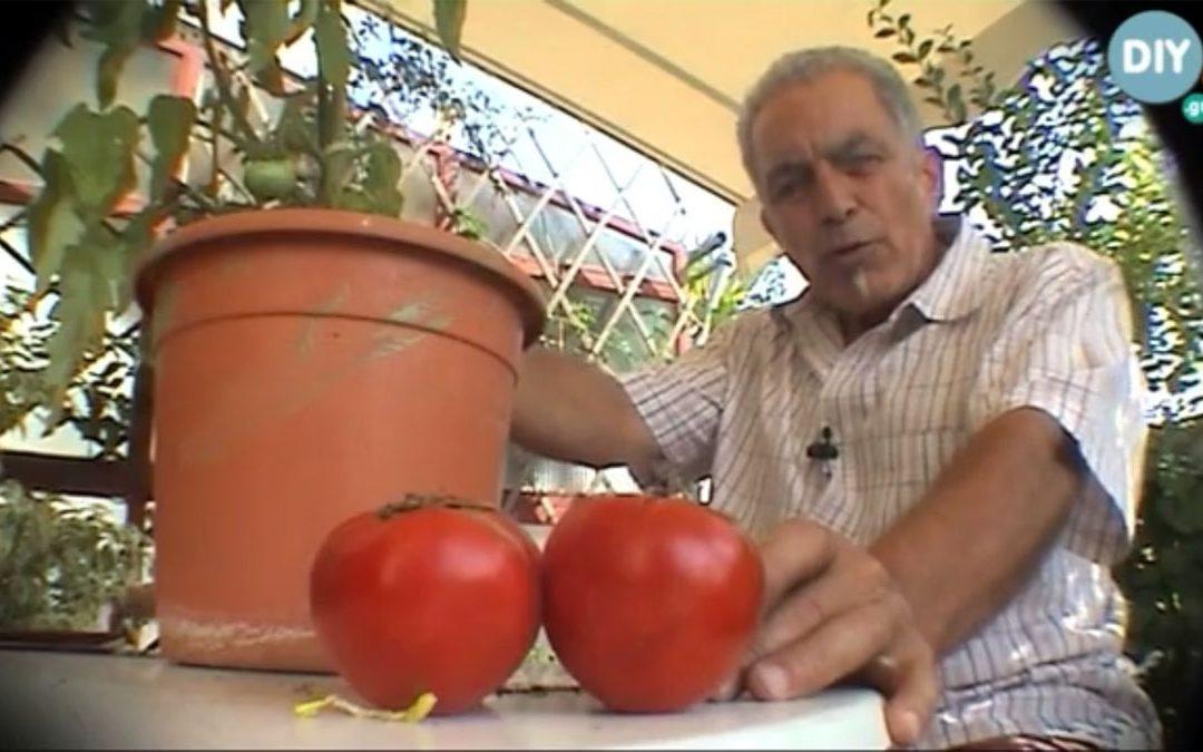 Video Καλλιέργεια Ντομάτας στον Κήπο ή σε Γλάστρα