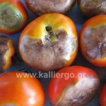 Ασθένεια Ντομάτας: Ξηρή Σήψη ή Ξηρή Κορυφή ή Τάπωμα ή Blossom End Rot