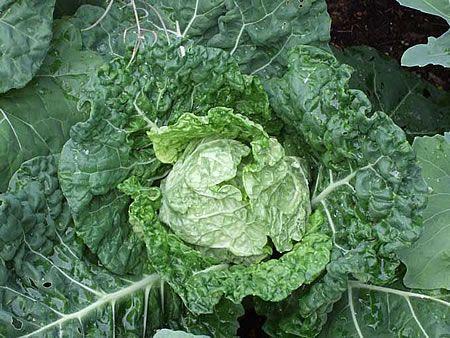 Γκριζοπράσινο λάχανο τύπου Σαβοΐας (Savoy)