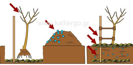 οδηγίες φύτεψης δένδρων 4