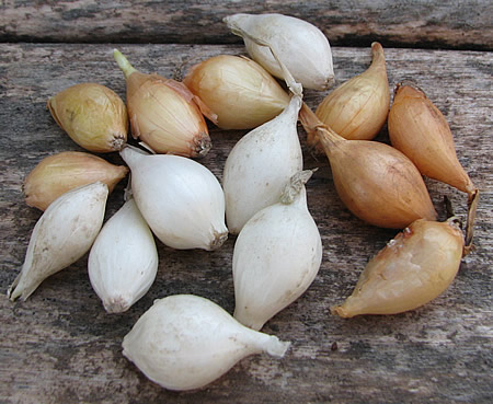 Φυτεύω Κοκκάρι για Κρεμμύδι (Ξερό)