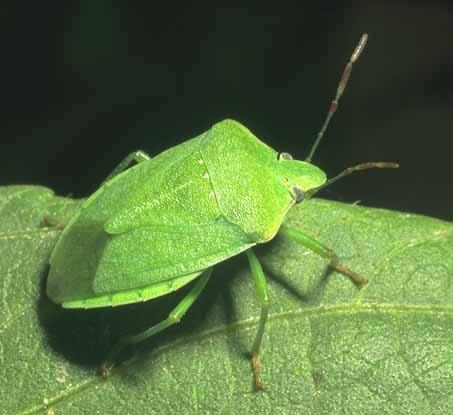 πράσινη βρωμούσα