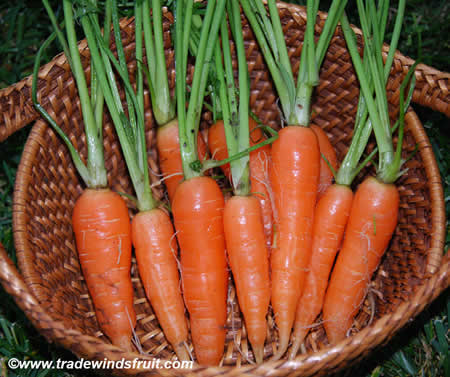 Καρότα ποικιλίας Nantes