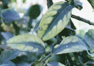 Τροφοπενία μαγνησίου σε φύλλα πορτοκαλιάς