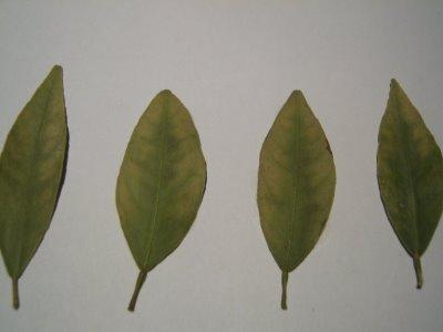 Τροφοπενία ψευδαργύρου σε φύλλα νεραντζιάς