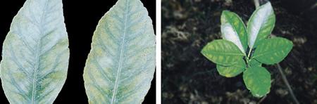 Τροφοπενία μαγγανίου σε φύλλα λεμονιάς