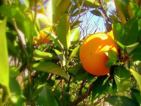 Πορτοκάλια ποικιλίας Μέρλιν
