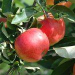 Καλλιέργεια Μηλιάς σε Κήπο και Γλάστρα. Συμβουλές Εχθροί Ασθένειες