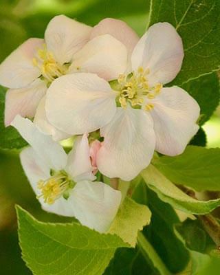 Άνθη Μηλιάς